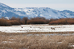 A coyote stalks two sandhill cranes in Grand Teton National Park, Wyoming.