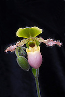 Paphiopedilum Pinocchio ladyslipper orchid in pink and green bloom