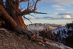 The setting sun casts a red glow in an ancient bristlecone pine, Ancient Bristlecone Pine Forest