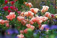 Clarkia, annual California native wildflowers, spring flowers with Clarkia amoena 'Aurora' and pink Godetia in Anni Jensen garden