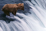A bear hunts for salmon on  Brooks Falls, Katmai National Park, Alaska