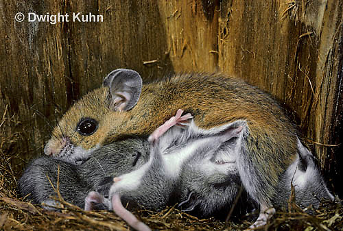 MU28-015z  White-Footed Mouse - nursing 13 day old young -  Peromyscus leucopus