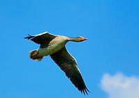 25.04.2009<br /> Greylag Goose (anser anser) ny&aacute;ri l&uacute;d<br /> Westerhever, Germany