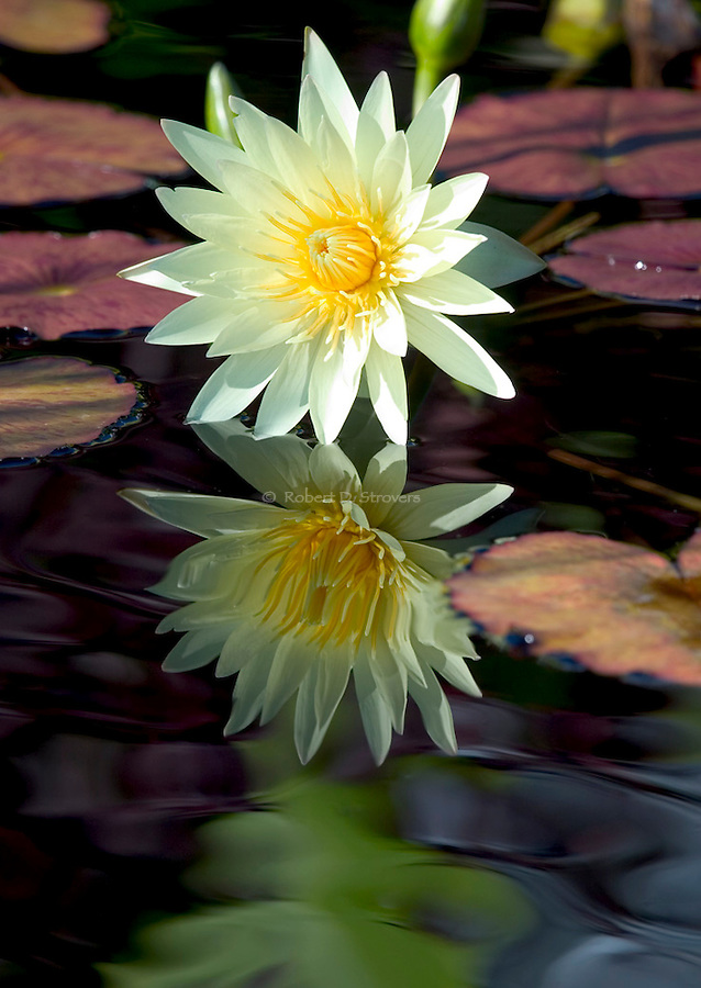 Water Lilies, Water Plants, ponds and pond life
