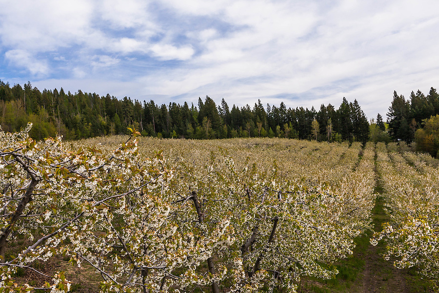 A cherry orchard is seen from a high angle above the trees near Bigfork, Montana.