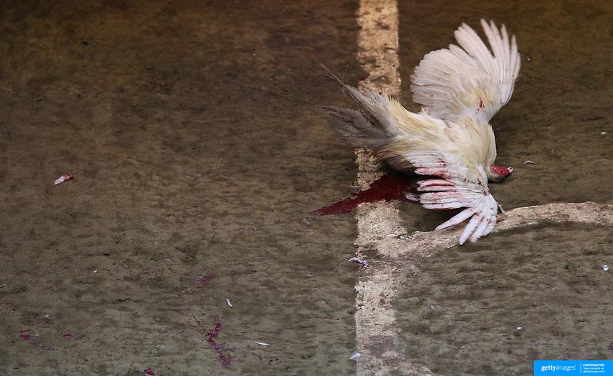 cock fight video death nbc