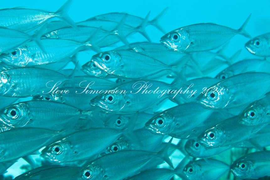 Bigeye Scad (Selar crumenophthalmus)<br />