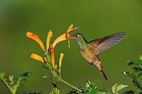 Buff-bellied Hummingbird (Amazilia yucatanenensis), adult in flight feeding on honeysuckle, Sinton, Corpus Christi, Coastal Bend, Texas Coast, USA