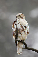 Red-tailed Hawk, Buteo jamaicensis, juvenile, Yellowstone NP,Wyoming, USA
