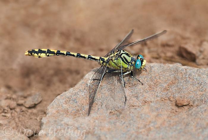389690015 a wild male great basin snaketail ophiogomphus morrisoni perches on a rock along ash creek lassen county califonria