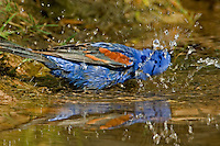 538680033 a wild male blue grosbeak guiaca caerulea bathes in a small pond in the rio grande valley of south texas