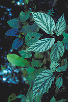Asymmetrical variegated leaves of Begonia maynensis in Tropical Rain forest, Acre State, Brazil.