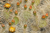 161260001 a wild mojave prickly pear cactus opuntia polycantha var erinacea produces large bright yellow flowers in the wash at darwin falls in owens valley inyo county california united states