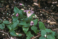 Trillium rivale selected form. with pinkish flowers in spring bloom