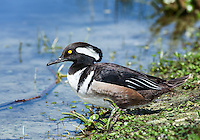 Male Hooded Merganser with crest lowered, sitting on shore of pond