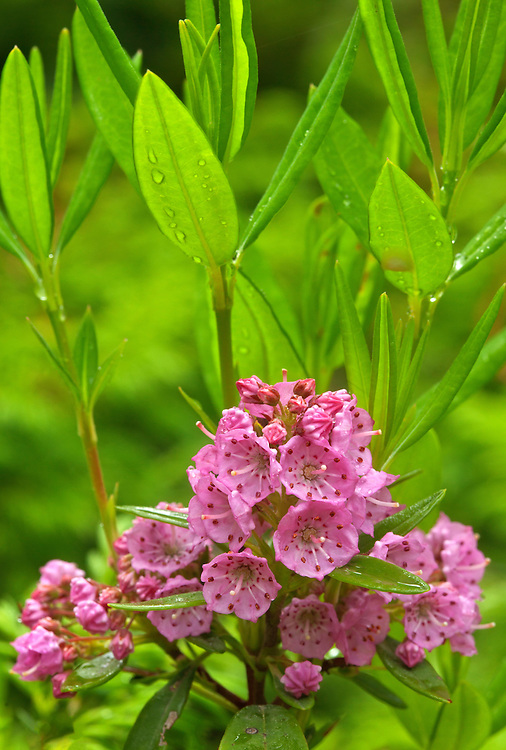 Sheep laurel blooms in the Coniferous Woods section of The Wild Gardens of Acadia in Acadia National Park, Maine, USA