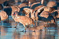 Sandhill Cranes in Icy Water