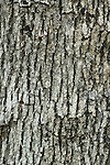 Bark of blue oak (Quercus douglassii), California