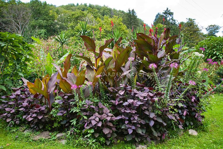 Purple garden: Canna indica King Humbert, Perilla frutescens, Cleome, tropical garden, Musa bananas, purple dark foliage amid green relief. Garden of Doug Cosh, Milford, PA