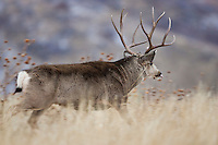 Trophy mule deer buck running