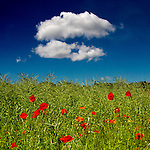 Poppies in a field of rape seed on a sunny summer day.