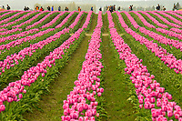 Skagit Valley Tulip Festival showcases hundreds of acres of colorful tulip fields in bloom as far as the eye can see. Roozengarde is the largest grower of tulips, daffodils and iris in the world. The color filled tulip fields attract over one million visitors a year open to the Pacific Northwest town of Mount Vernon, Washington. <br /> <br /> Charlotte Photographer - PatrickschneiderPhoto.com