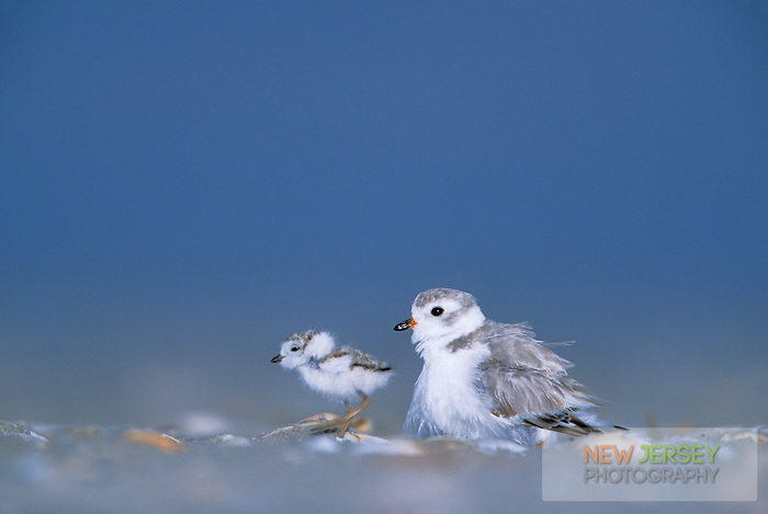 Piping Plover, with chick.  Stone Harbor beach, New Jersey