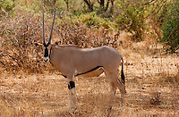 A young Oryx antelope, build for harsh dry conditions, takes some rest by the shade of tree near the Samburu river in northern Kenya's Samburu national park. (PHOTO: MIGUEL JUAREZ LUGO).