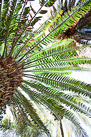 Radiating toothed leaves of Prickly Cycad (Bread Tree) - Encephalartos altensteinii