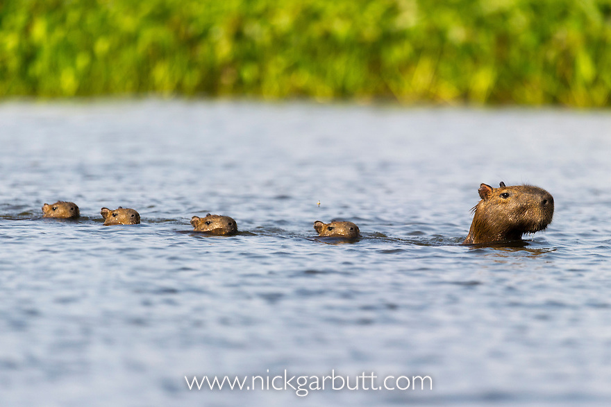 Female Capybara (Hydrochaeris hydrochaeris) swimming with young in a lagoon off the Paraguay River. Taiama Ecological Reserve, Pantanal, Brazil. (World's largest rodent)