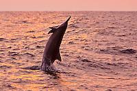 Hawaiian spinner dolphin (Stenella longirostris longirostris) jumping at sunset off the Kona Coast, Big Island.