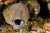 A pair of Yellow-edged Moray Eels (Gymnothorax flavimarginatus) in a coral crevice, Hawaii, USA.