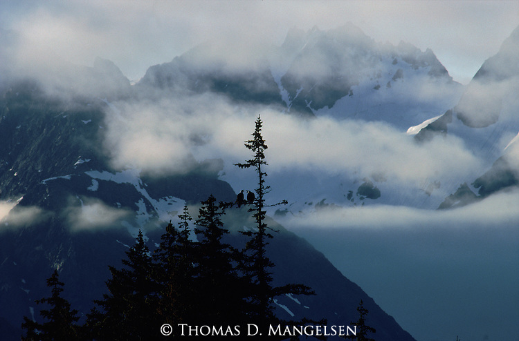 Two eagle's perch in a tall spruce tree backdropped by the cloud shrouded Alaskan mountains.