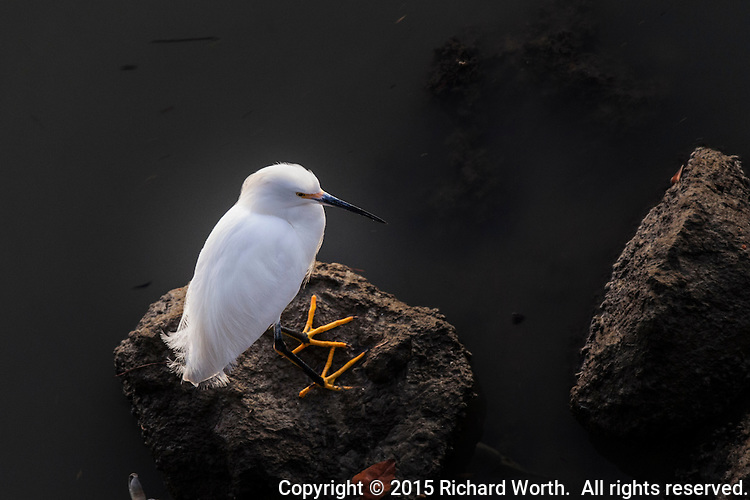 Viewed from almost directly above, a Snowy egret stands on rocks along the San Francisco Bay shore, its 'golden slippers', those distinctive yellow feet, prominently displayed.