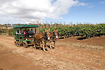 Hawaii: Molokai, coffee plants experienced during Coffees of Hawaii tour..Photo himolo244-72467..Photo copyright Lee Foster, www.fostertravel.com, lee@fostertravel.com, 510-549-2202