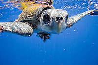 A closeup view of a rare Ridley Sea Turtle at the Cocos Island off the coast of Costa Rica.
