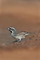 578670043 a wild black-throated sparrow amphispiza bilineata perches near a waterhole on santa clara ranch hidalgo county rio grande valley texas united states