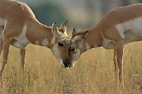 Two Pronghorn Antelope (Antilocapra americana) does (I believe one on right is fawn born in May, now Sept.) rubbing heads.  Western U.S., Fall.