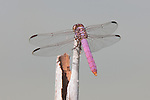 Odonata (Dragonflies and Damselflies)