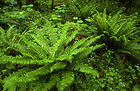 Western Sword Fern (Polystichum munitum), Columbia River Gorge, Oregon, USA
