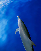 pantropical spotted dolphin, bow-riding, Stenella attenuata, off Kona Coast, Big Island, Hawaii, Pacific Ocean