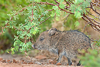 650520194 a baby javelina or collared peccary dicolytes tajacu on beto gutierrez ranch hidalgo county texas united states