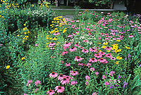 Echinacea (Coneflower) in meadow mix.