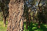 T-017 Cork Oak in Ilanot