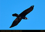 Raven Overflight, Grand Canyon Village, South Rim, Grand Canyon, Arizona