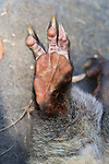 Foot Of Mountain Brushtail Possum