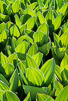 150630010 a field of wild backlit corn lily leaves veratrum californicum in yosemite national park california