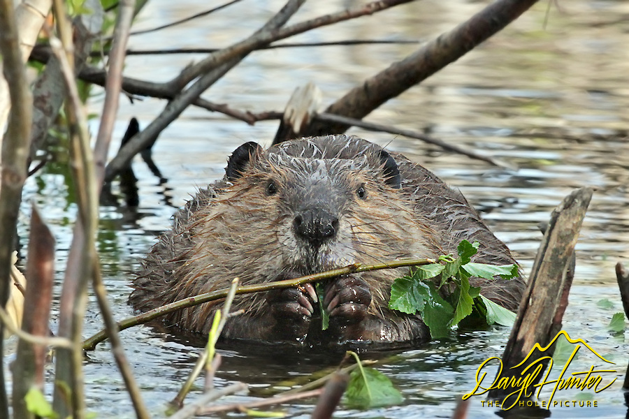Beaver having a bit of dinner in Grand Teton National Park