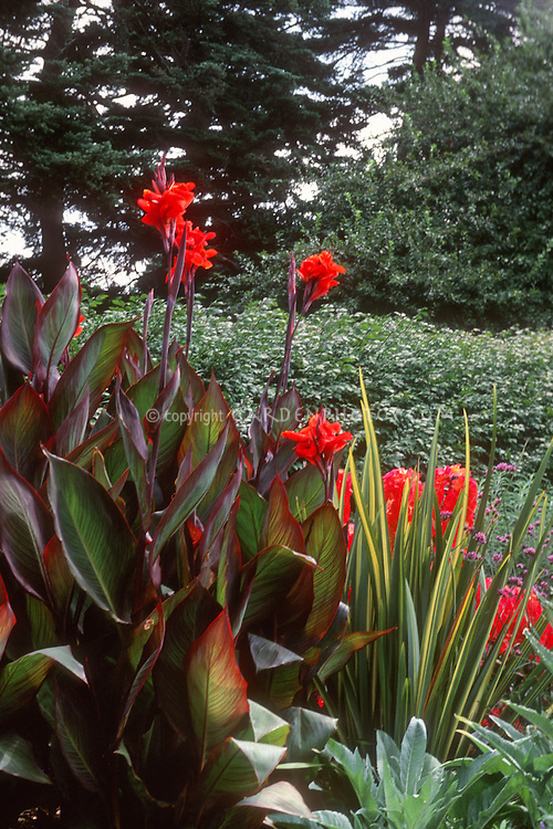 Canna 'Red King Humbert' with Yucca