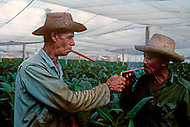 Cuba, March 1992: Workers smoking while harvesting under the Tapados in Pinar Del Rio. The muslin cover filters the sunlight and traps the heat so the leaves grow larger and are also protected from the  bugs. Only the largest and finest leaves are selected to make cigar wrappers.